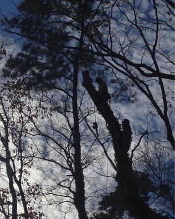 Tree Limbing Service